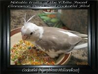 COCKATIELS AVAILABLE FOR ADOPTION!