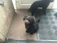 Boy Toy Poodle puppy For Sale