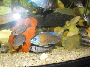 Young Healthy Red Fin Borleyi Cichlids