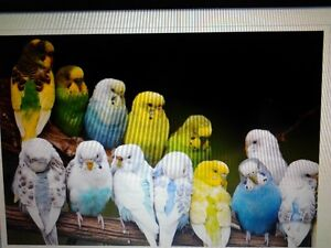 BABY BUDGIES & CAGE