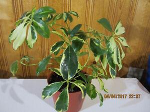 Dwarf Umbrella Tree - (Schefflera Arboricola)