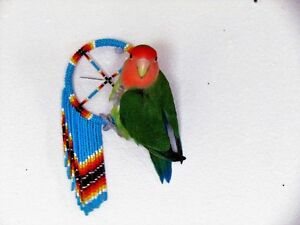 Lovebird with cage for sale $100