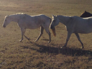 Registered bred broodmares for trade