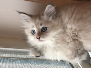 Pure breed Siberian Fores cat.  ALL SOLD