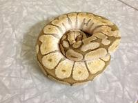 Ball pythons and more