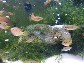 Jewel chilids, Tropical fish