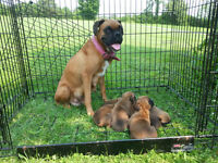 6 Pure Bred Boxer Puppies! ALL PUPPIES HAVE BEEN SOLD**