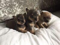 Lilac & Blue and tan chihuahua puppies