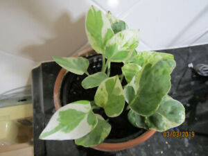 Pearl and Jade Pothos - Air Purifying - (Low Light) Plant