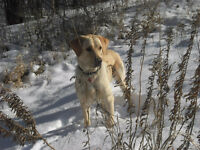 WANTED ! 1 1/2- 3 year old male and female Labs ! LOVING HOME !