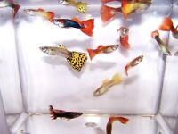 Fancy Guppies $1 each + Free babies and Freshwater Snails