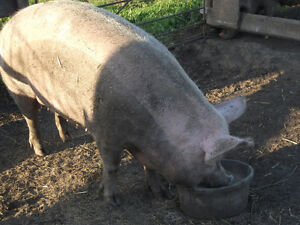 A sow