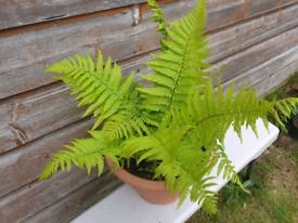 Fern , outdoor fern