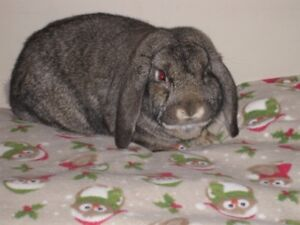 Purebred Holland Lop Male Rabbit To Rehome For Christmas