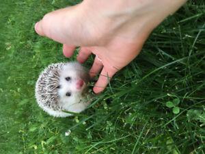 Hérisson à vendre - hedgehog for sale