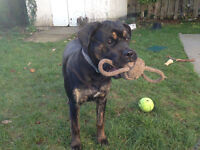 7- Month- Old Cane Corso For Sale