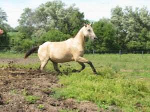 Tall Hypo-allergenic Curly Horse For Sale -SOLD