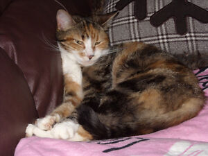 Free Calico Cat, to a Loving family