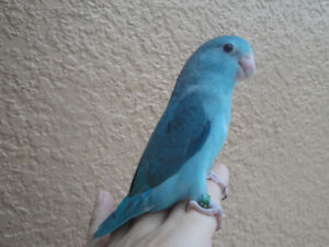 Young imported COBALT BLUE PARROTLET FEMALE ONLY
