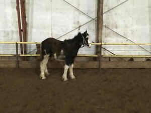 clydesdale filly