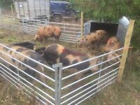 Wanted - land to rent for smallholding in or around Thurlton, Norfolk