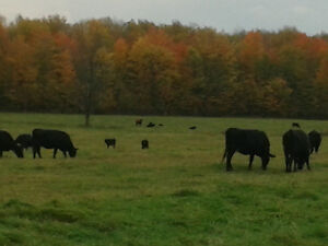 Grass fed beef or sale