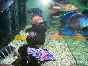 ADULT CICHLIDS FOR SALE