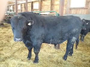 Pure Breed Angus Bulls