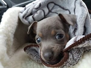 Gorgeous blue-eyed silver/grey chihuahua puppy