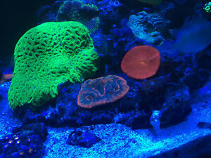 Large green favia/ brain coral encrusted on large rock