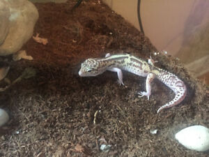 Gecko for sell