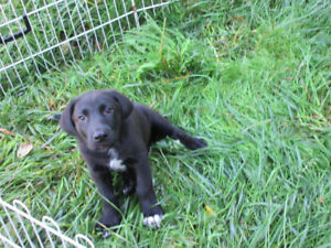 10 week old Labrador Catahoula X puppies are now available