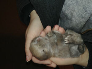 Blue Mini lop bunnies for sale! Ready just before christmas!