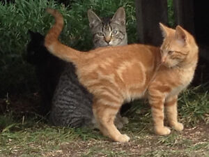 FREE - Barn Kittens to Give Away