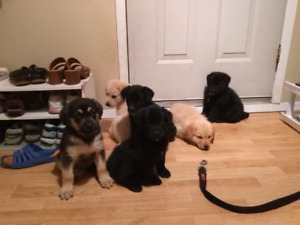 Golden Lab/Black Lab Puppies