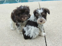 Miniature Schnauzer Puppies - RARE Chocolate (Liver) Parti