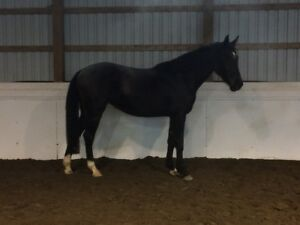 Beautiful Warmblood 4 year old Mare