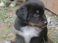 Miniature Australian Shepherd male pups
