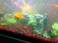 Goldfish for sale or trade for different fish