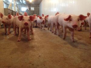 General Labourer - Pig Farm