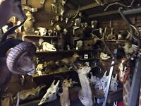 Taxidermy and skulls available