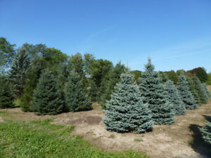 """Large mature trees MAPLES 5""""-7"""" BLUE SPRUCE 11'-15' many more"""