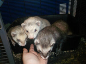 3 ferrets and cage