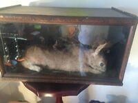 Oak Cased Taxidermy Rabbit - Late Victorian - Antique - Ono