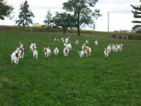 Boer Goat Herd Dispersal: Purebred and Percentage.