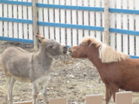 Mini Horse and Donkey
