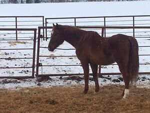 REDUCED 10-12 thoroughbred/Arabian gelding
