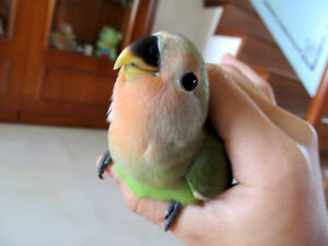 One baby Love Bird, Comes with cage.