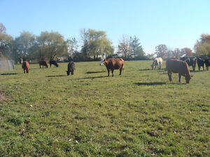 Cattle & Heifers Oakville / Halton Region Toronto (GTA) image 2