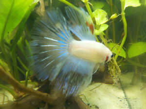 Betta Fish for rehoming